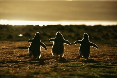 picture-of-penguins